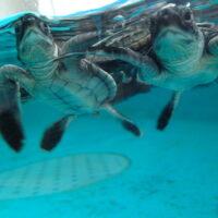 串本海中公園「ウミガメの赤ちゃん」誕生